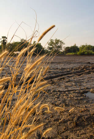 Dry flower of grass on mud surface in the rice fields when sunrise photo