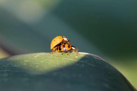 copulation: Ladybird Stock Photo