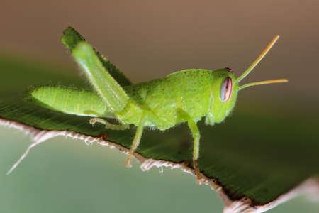 Great green grasshopper Stock Photo