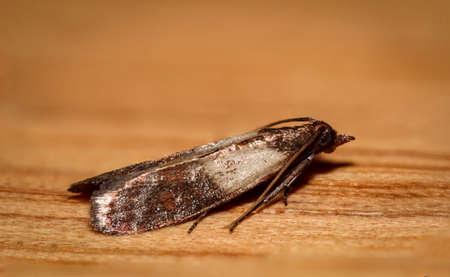 Plodia interpunctella - Indian Meal Moth, food moth pest