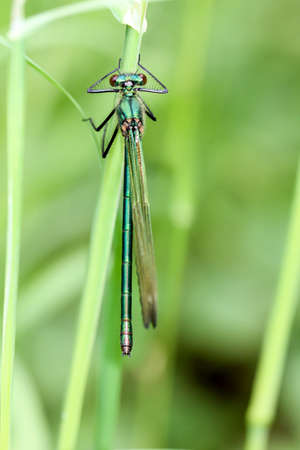 A Demoiselle (Calopterygidae) on the blade of grass Stock Photo