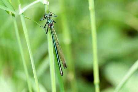 tummy time: A Demoiselle (Calopterygidae) on the blade of grass Stock Photo