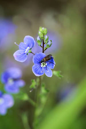 Blue Veronica flowers, nature, plants, fly Stock Photo