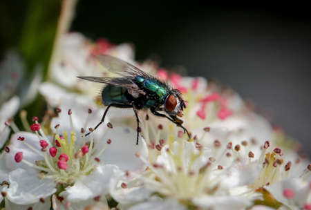 hairy legs: Fly fetches nectar, insect, nature, macro Stock Photo