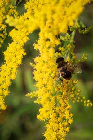 stakes: Bee at the pollinating the flowers of goldenrod Stock Photo