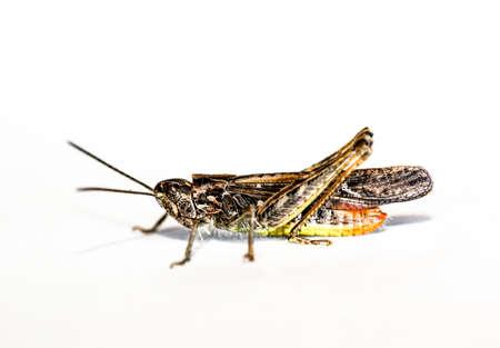 grashopper on white background