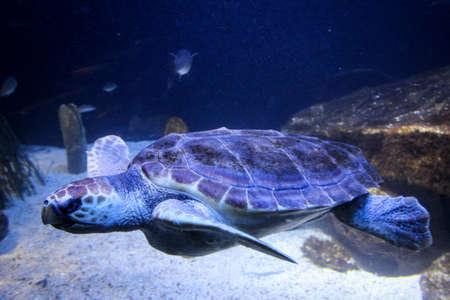 big sea turtle swimming in the water