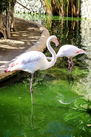 flamingos looking for food in the green water Stock Photo