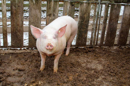 pigs in a species-appropriate attitude