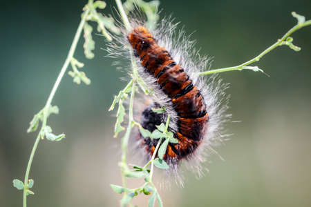 caterpillar of the blackberry moth Banque d'images