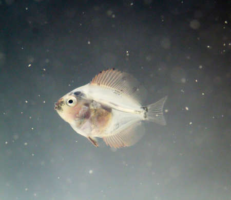 baby discus fish