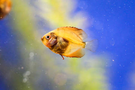 this is a portrait of a discus fish baby