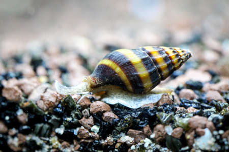 Robber snail (Clea Helena)