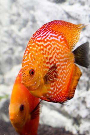 Portrait oa discus fish