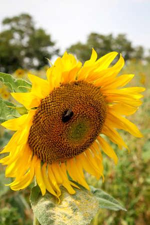 Details of a sunflower
