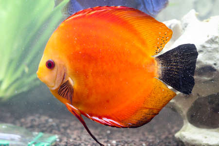 Portrait of a discus fish Stock Photo