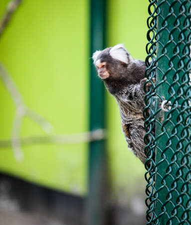 a common marmoset (Callithrix jacchus)