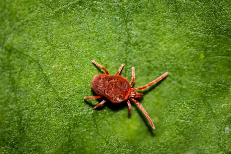 Macro of a red mite on a leaf