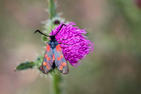 Close-up of a butterfly, rambling on a thistle