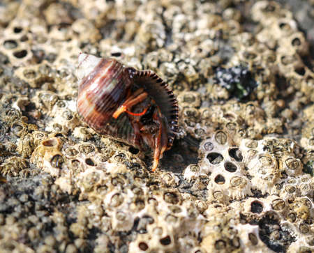 a hermit crab in its snail