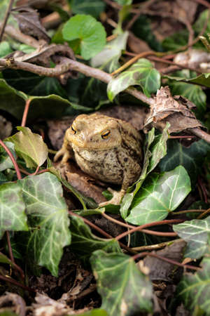 frog or unke at mating time in the scrub