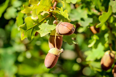 Detail of acorns on an oak, and acorns Imagens