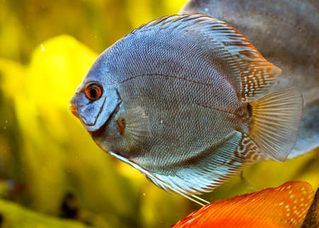 portrait of a discus fish Stock Photo - 122874652