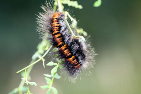caterpillar of the blackberry moth Stock Photo