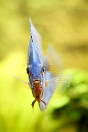 Portrait or discus fish in the aquarium Stock Photo - 122876314
