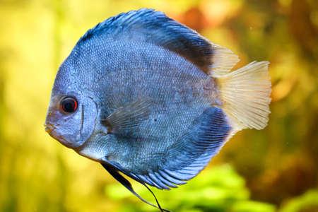 Portrait or discus fish in the aquarium Stock Photo - 122876435