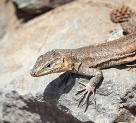 Detail of a lizard in the sun on a stone Stock Photo