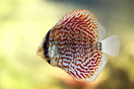 Portrait or discus fish in the aquarium Stock Photo - 122876898
