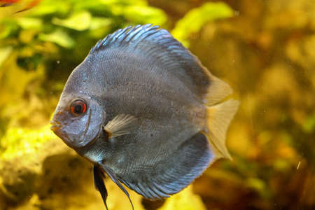 Portrait or discus fish in the aquarium Stock Photo - 122876916