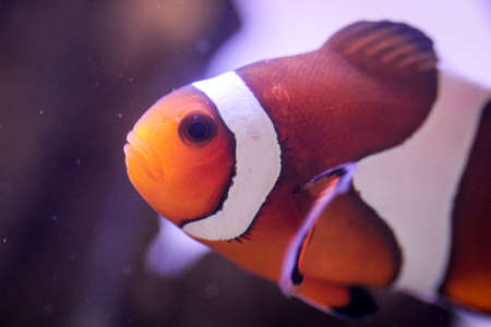 Detail of an anemone fish in aquarium Stock Photo - 122877075