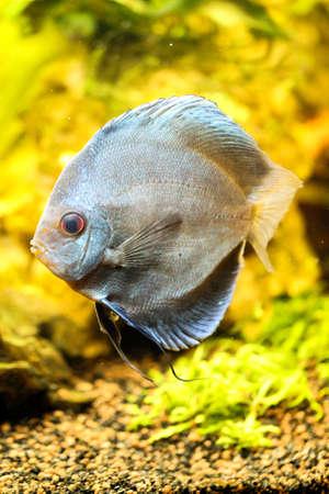 Portrait or discus fish in the aquarium Stock Photo - 122877181