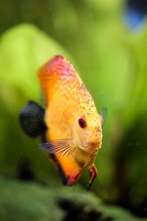 Portrait or discus fish in the aquarium Stock Photo - 122877184