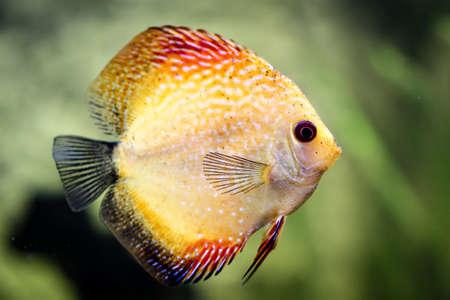 Portrait or discus fish in the aquarium