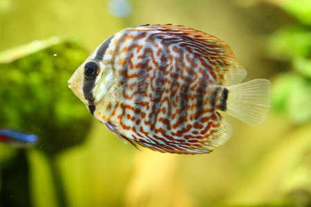 Portrait or discus fish in the aquarium Stock Photo - 122877252