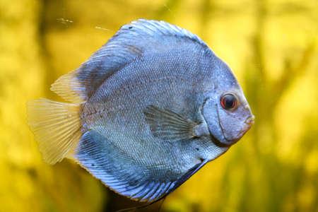 Portrait or discus fish in the aquarium Stock Photo - 122877275