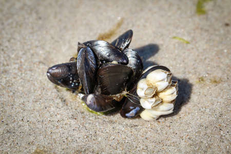 Musselm on the beach with barnacles afflicted