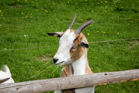 A goat in the gate of a farm
