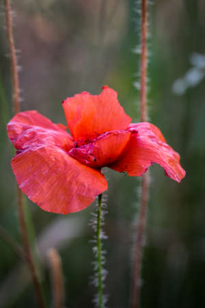 Papaver rhoeas common names include corn poppy, corn rose, field poppy, Flanders poppy, red poppy, red weed, coquelicot