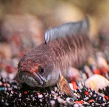 Detail of a mud-head fish in aquarium