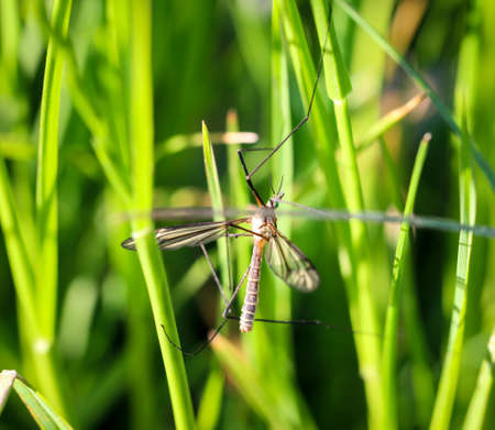 Close-up of a schnake, so called long-legged mosquito