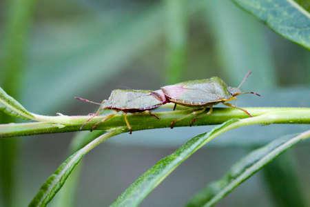 Zwei Käfer auf einer Pflanze