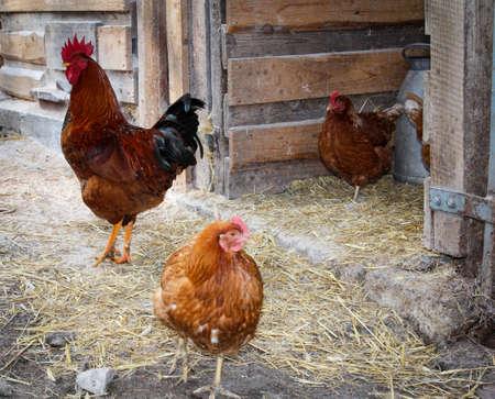 Huhn, Hühner und Hahn gehören auf einen Bauernhof