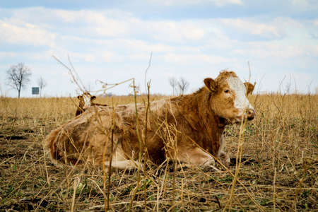 Cows on the pasture, a species appropriate form of attitude