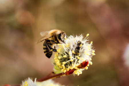 A bee at the pussy-willow