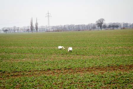 Swans eat on a fresh green field