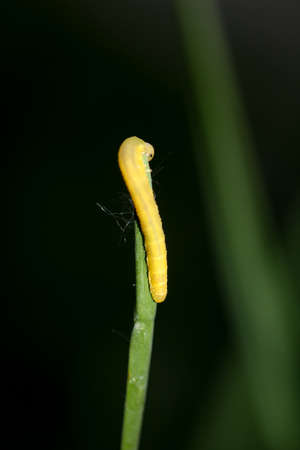 A caterpillar of a butterfly on a plant